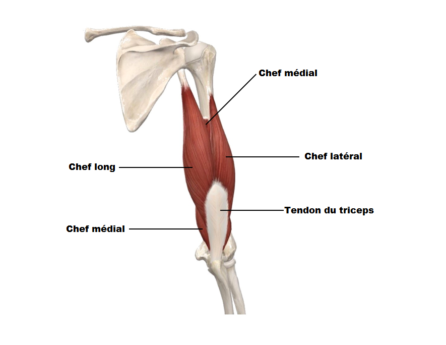 muscle triceps anatomie musculation